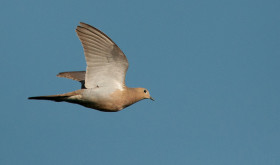 Iowa Dove Hunting: A Beginner's Guide