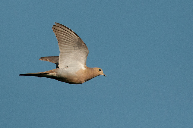 Iowa dove hunting a beginner 39 s guide tpa outdoors for Iowa fishing license cost