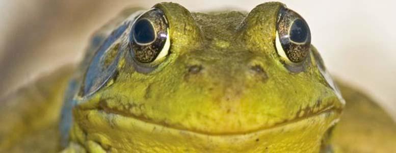 Frogging season begins june 30 tpa outdoors for Missouri fishing license age
